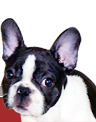 Kelmars French Bulldogs - French Bulldog Breeders and Professional Handling
