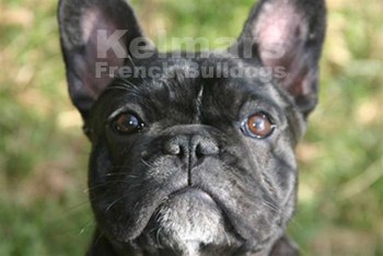 Kelmars French Bulldogs